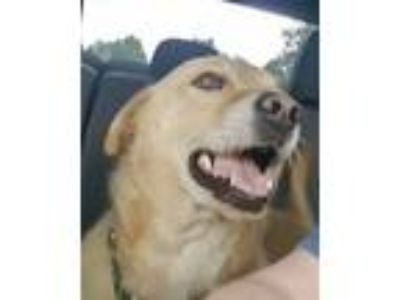 Adopt Sarge a Tan/Yellow/Fawn Labrador Retriever / Mixed dog in Annapolis