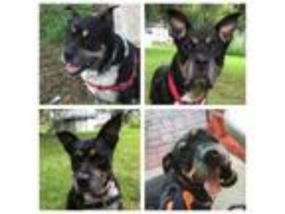 Adopt Rocky a Rottweiler, Shepherd