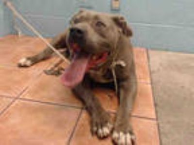 Adopt a Tan/Yellow/Fawn American Pit Bull Terrier / Mixed dog in Downey
