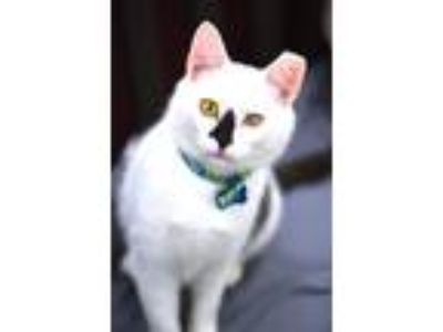 Adopt Popeye a Domestic Shorthair / Mixed cat in Madison, NJ (25309067)