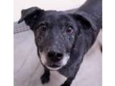 Adopt Lizzy a Labrador Retriever, Australian Cattle Dog / Blue Heeler