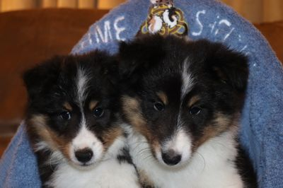 Shetland Sheepdog PUPPY FOR SALE ADN-106086 - Tri Sheltie Boys