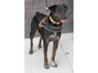 Adopt James a Doberman Pinscher, Mountain Cur
