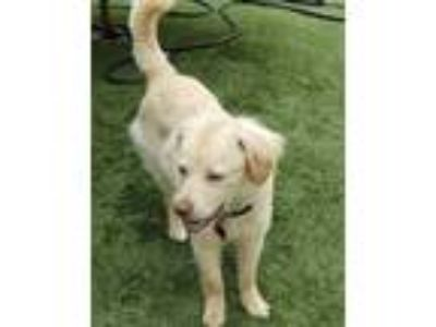 Adopt Rio a Golden Retriever, Spaniel