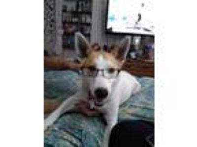 Adopt Sadie a White - with Tan, Yellow or Fawn German Shepherd Dog / Mixed dog