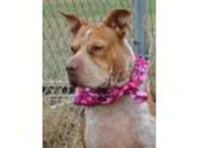 Adopt LILY MAE- LOVELY GIRL a Shar Pei, Australian Cattle Dog / Blue Heeler