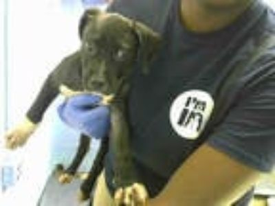 Adopt BOSTON a Black - with White American Pit Bull Terrier / Mixed dog in