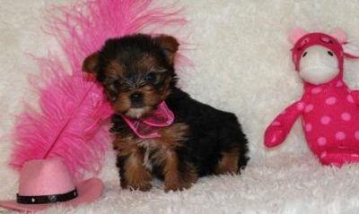 Gorgeous Little Teacup Yorkshire Terrier Puppies