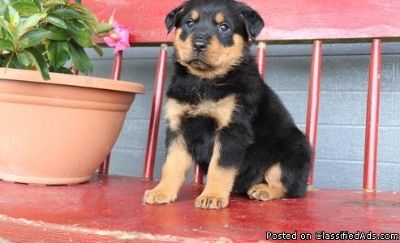 Dandintas kull male and female Rottweiler puppies available for adoption please contact via text or call for more details (530)-436