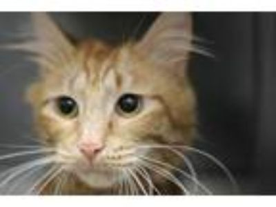 Adopt Cheeto a Domestic Medium Hair, Domestic Short Hair