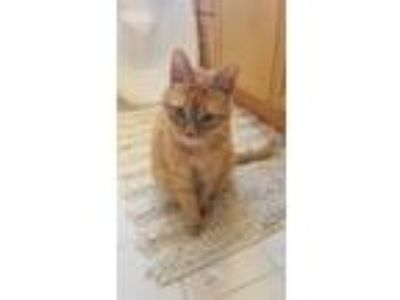 Adopt Tyler a Orange or Red Tabby Domestic Mediumhair / Mixed cat in Royal Oak