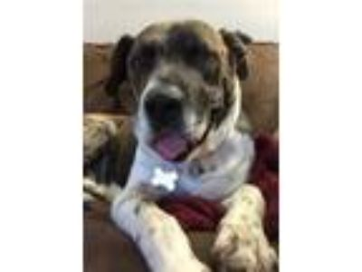 Adopt Ricky Bobby a Brindle American Pit Bull Terrier / Plott Hound / Mixed dog
