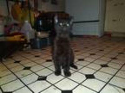 Adopt Kitty a All Black Domestic Shorthair cat in San Antonio, TX (24966317)