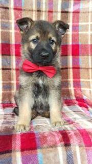 German Shepherd Dog PUPPY FOR SALE ADN-78229 - German Shepherd Puppy