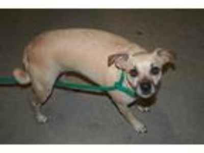 Adopt SASHA a Tan/Yellow/Fawn - with Black Rat Terrier / Mixed dog in Modesto