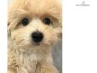 Male Bich Poo Puppy