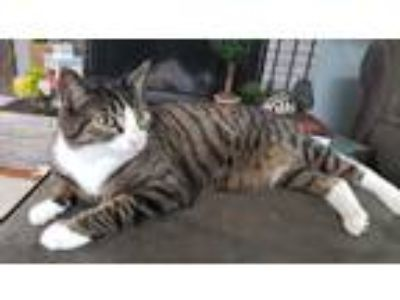 Adopt Nova Cat a Tiger Striped Polydactyl/Hemingway cat in Redmond