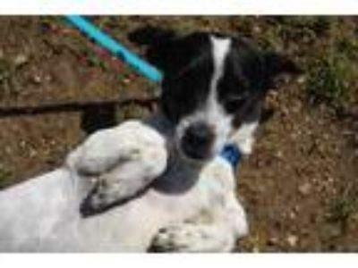 Adopt Boyd a White Jack Russell Terrier / Mixed dog in E.