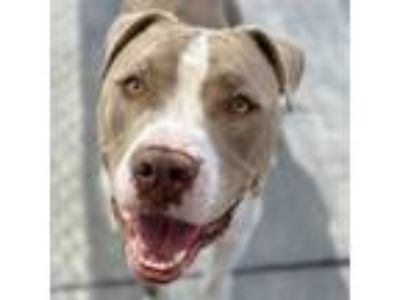 Adopt Pickle a Tan/Yellow/Fawn - with White Pit Bull Terrier / Mixed dog in