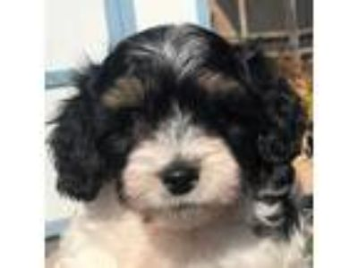 Adopt Monty a Black - with White Bichon Frise / Mixed dog in La Costa