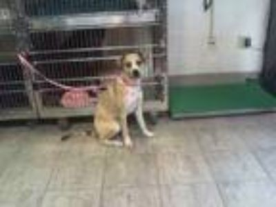 Adopt ALLYSA a Tan/Yellow/Fawn - with White Catahoula Leopard Dog / Mixed dog in