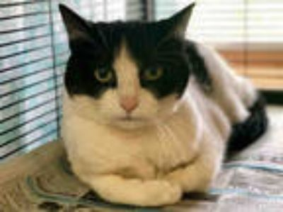 Adopt JOLIE a White (Mostly) Domestic Shorthair / Mixed (short coat) cat in