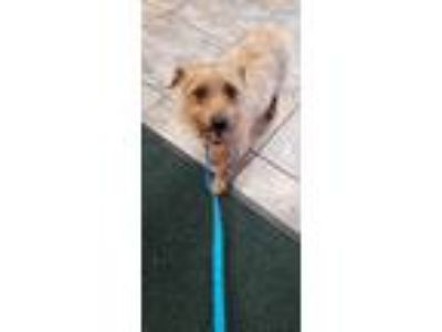 Adopt Mini Cooper a Cairn Terrier / Mixed dog in Madison, AL (25349379)