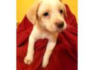 Adopt Jon Snow a White Blue Heeler / Labrador Retriever / Mixed dog in