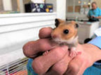 Adopt SUNNY W a Brown or Chocolate Hamster / Mixed small animal in Ft
