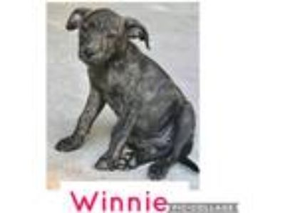 Adopt Winnie a Brindle Labrador Retriever / Boxer / Mixed dog in Parsippany