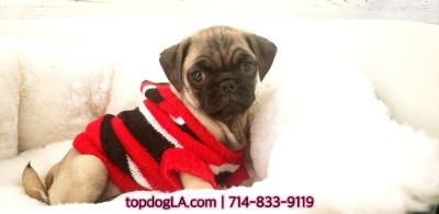 Pug PUPPY FOR SALE ADN-75055 - Pug Male Pugette