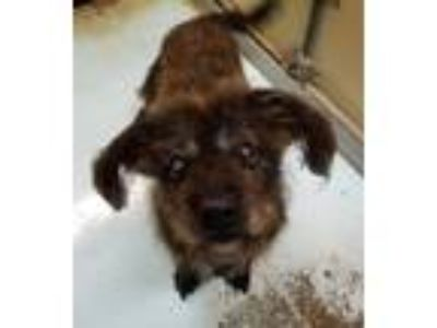 Adopt Stevie Ray a Poodle, Schnauzer