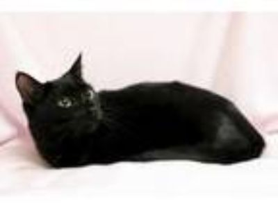 Adopt Emory a Domestic Short Hair