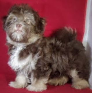 Havanese PUPPY FOR SALE ADN-101987 - AWESOME LITTLE HAVANESE MALE