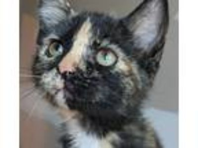 Adopt Meg a Domestic Shorthair / Mixed cat in Brighton, MO (25358893)