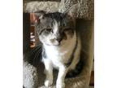 Adopt Pop Pop a Gray or Blue (Mostly) Domestic Shorthair / Mixed (short coat)