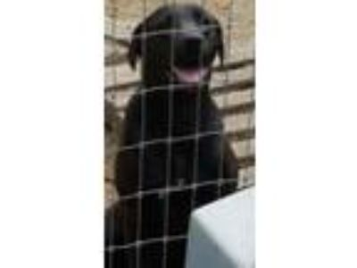 Adopt Nayla (young Lab mix) a Labrador Retriever, Hound