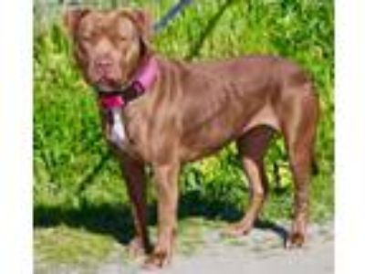Adopt Coco a American Pit Bull Terrier / Mixed dog in Vallejo, CA (24710379)