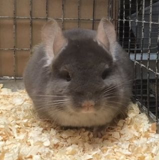 Young Brown Velvet Male Chinchilla