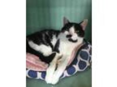 Adopt Brick a White Domestic Shorthair / Domestic Shorthair / Mixed cat in