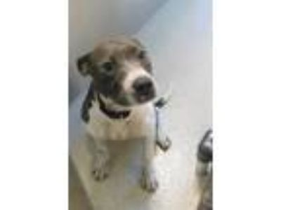 Adopt Twyla a Pit Bull Terrier