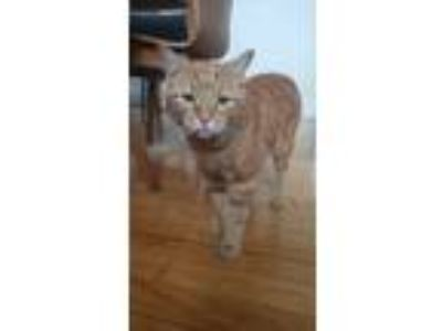 Adopt Eek-a-mouse a Orange or Red Tabby American Shorthair cat in Providence
