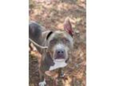 Adopt Harold a Gray/Blue/Silver/Salt & Pepper Mixed Breed (Large) / Mixed dog in