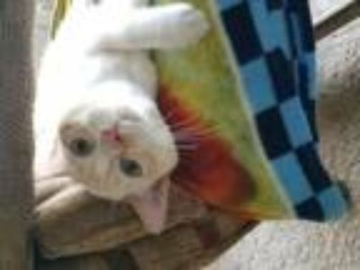 Adopt Toby a Domestic Short Hair, Siamese
