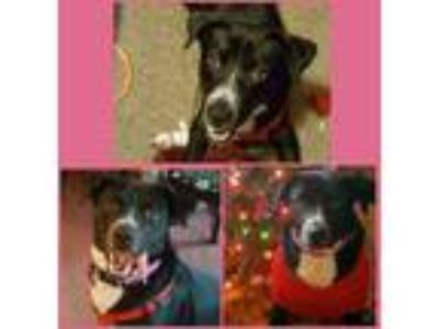 Adopt Jacey a Black - with White Labrador Retriever / Mixed dog in Wichita