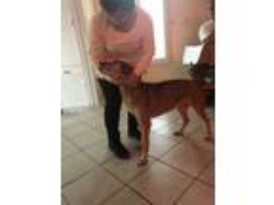 Adopt Max a Tan/Yellow/Fawn - with White Beagle / Labrador Retriever / Mixed dog