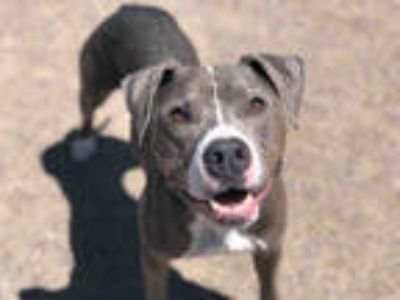Adopt DEXTER a Gray/Silver/Salt & Pepper - with White American Pit Bull Terrier