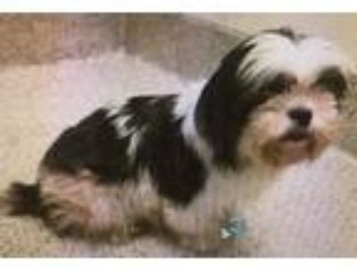 Adopt Patsy Cline - 2-Year-Old, Pure-Bred Shih Tzu, for Foster Home! a Shih Tzu
