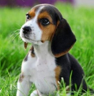 Craigslist Dogs For Adoption Classified Ads In Pontiac South