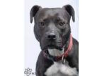 Adopt Player a Black American Pit Bull Terrier / Mixed dog in Tinley Park